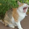 neko-yawn01