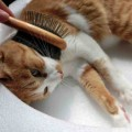 cat-brushing01